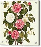 Camellia Acrylic Print by English School