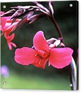 Canna Lily (canna X Ehemanii) Acrylic Print by Adrian Thomas