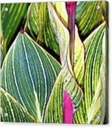 Canna Lily Foliage Acrylic Print by Dr Keith Wheeler