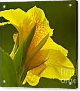 Canna Lily Acrylic Print by Heiko Koehrer-Wagner