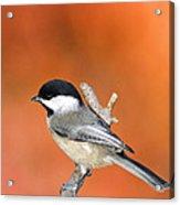 Carolina Chickadee - D007812 Acrylic Print by Daniel Dempster