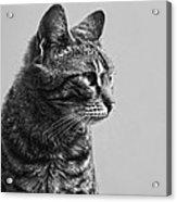 Cat Acrylic Print by Chelaru Catalin Ionut