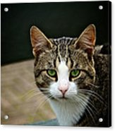 Cat Acrylic Print by Odd Jeppesen