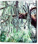 Cedar Draped In Spanish Moss Acrylic Print by Thomas R Fletcher