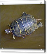 Chester River Turtle Acrylic Print by Brian Wallace
