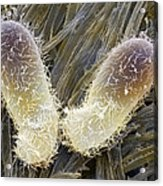 Chilodonella Ciliate Protozoan, Sem Acrylic Print by Power And Syred