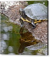 Chin Up  Acrylic Print by Kathy Gibbons
