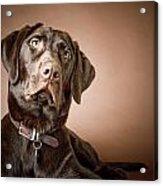 Chocolate Labrador Retriever Portrait Acrylic Print by David DuChemin