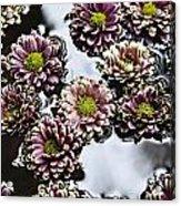 Chrysanthemum 3 Acrylic Print by Skip Nall