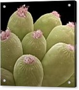Ciliate Protozoans, Sem Acrylic Print by Steve Gschmeissner