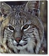 Close-up Of A Bobcat Acrylic Print by Dr. Maurice G. Hornocker