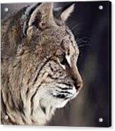 Close-up Of A Bobcat Felis Rufus Acrylic Print by Dr. Maurice G. Hornocker