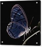 Close-up Of A Glassy-wing Butterfly Acrylic Print by Mattias Klum