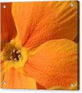 Close Up Of An Orange Primrose Flower Acrylic Print by Joe Petersburger