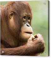 Close-up Of An Orangutan Pongo Pygmaeus Acrylic Print by Tim Laman