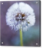Close Up Of Dandelion Flower Acrylic Print by Pamela N. Martin