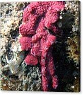 Close-up Of Live Sponge Acrylic Print by Ted Kinsman