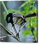 close up of Superb Fairy-wren Acrylic Print by Joanne Kocwin