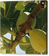 Close-up Of Two Large Figs Hanging Acrylic Print by Robert Sisson