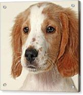 Cocker Spaniel Puppy Acrylic Print by Retales Botijero