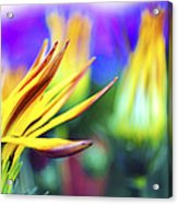 Colorful Flowers Acrylic Print by Sumit Mehndiratta