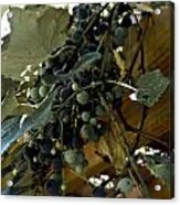 Concord Grapes Acrylic Print by Heather Grow