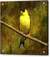 Contemplating Goldfinch Acrylic Print by J Larry Walker