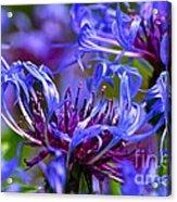 Cornflower Color Acrylic Print by Byron Varvarigos