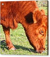 Cow Grazing In The Field . 7d9931 Acrylic Print by Wingsdomain Art and Photography