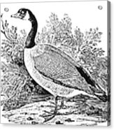 Cravat Goose Acrylic Print by Granger