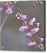 Crepe Myrtle Acrylic Print by Lisa Phillips