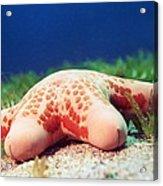 Cushion Star (choriaster Granulatus) Acrylic Print by Georgette Douwma