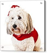 Cute Dog In Santa Outfit Acrylic Print by Elena Elisseeva