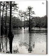Cypress Trees In Louisiana Acrylic Print by Ester  Rogers