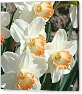 Daffodil Flowers Art Prints Spring Floral Acrylic Print by Baslee Troutman
