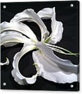 Deconstructed Lily Acrylic Print by Anna Villarreal Garbis