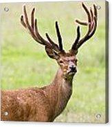 Deer With Antlers, Harrogate Acrylic Print by John Short
