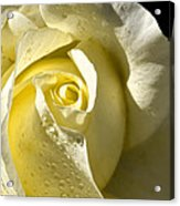 Delightful Yellow Rose With Dew Acrylic Print by Tracie Kaska