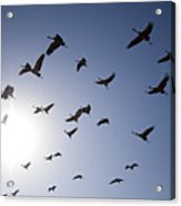 Demoiselle Cranes (anthropoides Virgo) Group Of Birds Flying, In Khichan, Rajasthan, India Acrylic Print by Berndt Fischer