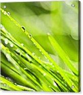 Dewy Green Grass  Acrylic Print by Elena Elisseeva