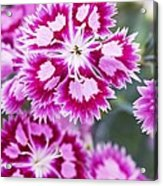 Dianthus Cranberry Ice Flowers Acrylic Print by Jon Stokes