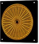Diatom Alga, Arachnoidiscus Acrylic Print by Eric Grave