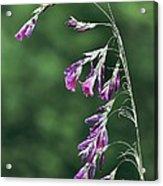 Dierama Pulcherrimum In Flower Acrylic Print by Colin Varndell