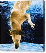 Diving Dog 3 Acrylic Print by Jill Reger