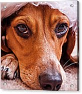 Dogs In Santa Hat Acrylic Print by Rich Johnson of Spectacle Photo