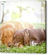Dogs Snuggling Outside Being Cute Acrylic Print by Jessica Trinh