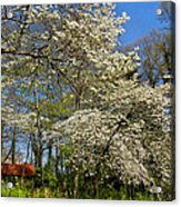 Dogwood Grove Acrylic Print by Debra and Dave Vanderlaan