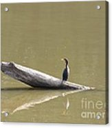 Double-crested Cormorant Acrylic Print by Jack R Brock
