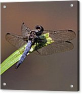 Dragonfly On Goose Feather Pond  - C2121b Acrylic Print by Paul Lyndon Phillips