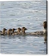 Duck And Ducklings Swimming In A Row Acrylic Print by Keith Levit